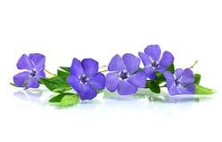 härlig blå blommawhite arkivfoto