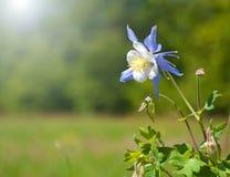 härlig blå columbine sun Royaltyfri Bild