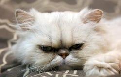 Härlig blå kvinnlig katt, hypoallergenic katt Djur som kan vara älsklings- av folket, som är allergiskt till katter royaltyfria bilder