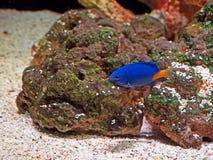 Härlig blå orange havsfisk på naturbakgrund Arkivfoto