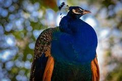 Härlig blå påfågel från sidan Royaltyfria Bilder