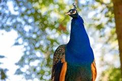 Härlig blå påfågel på klockan Arkivbild