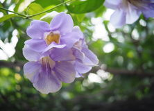 Härlig blå purpurfärgad mjuk trevlig blomma av lagerklockavinrankan Arkivbilder