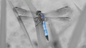 Härlig blå slända arkivfoto
