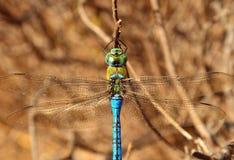 Härlig blå sländaanaximperator, från över Arkivfoto
