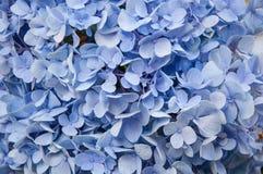 Härlig blå vanlig hortensiablommabakgrund Naturlig färg royaltyfria foton