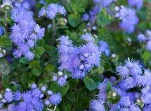 Härlig blåaktig violett Ageratum i rabatten Arkivfoto