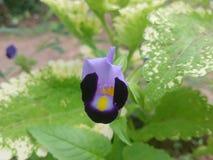 Härlig blått blommar i Sri Lanka royaltyfria bilder