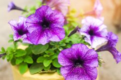Härlig blått blommar petunian, fantastisk tapet blomningväxter av söder - amerikan, naturbakgrund för design Närbild royaltyfri fotografi