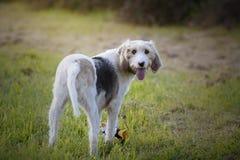 Härlig blandad-avel hund av Griffon som tillbaka ser med dess leksak mellan dess ben i en äng arkivfoton