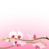 Härlig blom- abstrakt bakgrund, orkidér som isoleras på vit Fotografering för Bildbyråer