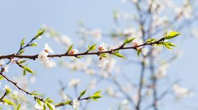 Härlig blom- bakgrund för vårtid Blommande filial för blomningäppleträd Nya gräsplansidor och vita blommor royaltyfri foto