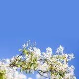 Härlig blom- bakgrund för vårtid Blomstra den vita kronbladträdfilialen Bakgrund för blå himmel, kopieringsutrymme grunt Arkivfoton