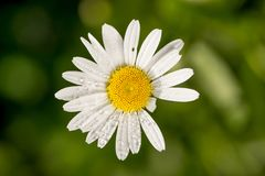 Härlig blom- bakgrund, försiktig vit kamomillblomma med daggdroppar på kronblad, hälsningkort för 8 kvinnas för marsch divinati f Royaltyfri Fotografi