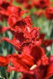 Härlig blom- bakgrunds… bakgrund med färgrika blommor Röda tulpan med sammetgränsen Royaltyfri Bild