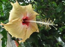 Härlig blom för hibiskus Royaltyfri Bild