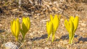 Härlig blom för lös blomma för Sternbergia clusiana oavkortad royaltyfri fotografi