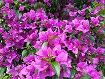 H?rlig blomma av den naturliga himalaya rosa blomman royaltyfri bild