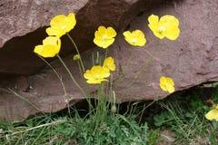 Härlig blomma av den nordliga Pamirsen Royaltyfria Foton