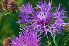 Härlig blomma av den purpurfärgade tisteln Arkivfoton