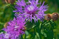 Härlig blomma av den purpurfärgade tisteln Royaltyfri Fotografi
