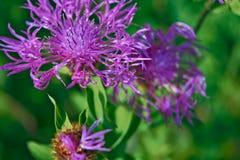 Härlig blomma av den purpurfärgade tisteln Royaltyfria Bilder