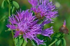 Härlig blomma av den purpurfärgade tisteln Arkivbild