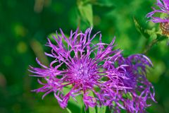 Härlig blomma av den purpurfärgade tisteln Royaltyfri Foto