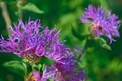 Härlig blomma av den purpurfärgade tisteln Royaltyfri Bild