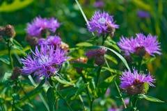 Härlig blomma av den purpurfärgade tisteln Fotografering för Bildbyråer