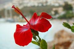 Härlig blomma av hibiskusen mot ett defocused hav och en kust- stad Royaltyfria Foton