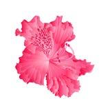 Härlig blomma av rosa rhododendron Ponticum på vit bakgrundsvektorillustration redigerbart n Arkivbild