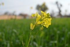 Härlig blomma av senapsgula sidor Arkivfoton