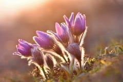 härlig blomma blommafjäder Naturlig kulör suddig bakgrund (Pasque Flowers - Pulsatillagrandis) royaltyfria foton