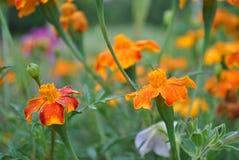 Härlig blomma efter ett morgonregn Royaltyfri Bild
