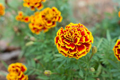 Härlig blomma för franska ringblommor Arkivfoto