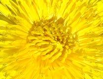 Härlig blomma för guling för bakgrundsbild av maskrosen och dess många kronblad och stamens Royaltyfri Foto