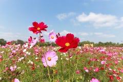 Härlig blomma för kosmos Fotografering för Bildbyråer
