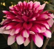 Härlig blomma för makrofoto av en dahlia Royaltyfri Foto