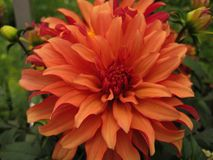 Härlig blomma för makrofoto av en dahlia Arkivfoto