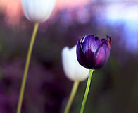 Härlig blomma för purpurfärgad tulpan Arkivfoton