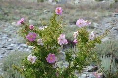 Härlig blomma för Subshrub i Pakistan royaltyfri fotografi