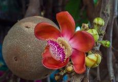 Härlig blomma för träd för kanonboll Royaltyfri Fotografi
