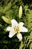 Härlig blomma för vit lilja med knoppar på en bakgrund av lövverk Arkivfoton