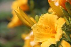 härlig blomma från mormors trädgård Royaltyfri Bild
