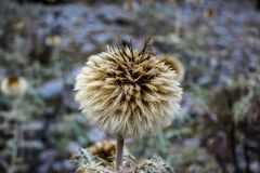 Härlig blomma i bergen av Himachal Pradesh, Indien arkivfoto
