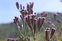 Härlig blomma i det Semeru berget Royaltyfria Bilder