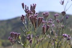 Härlig blomma i det Semeru berget Royaltyfria Foton