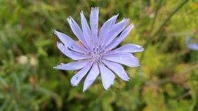 Härlig blomma i lila-blått Arkivfoto