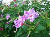 Härlig blomma i lila- och vitsignaler! Royaltyfri Fotografi
